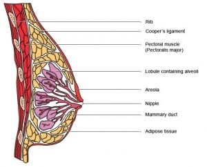 Coopers Ligaments in Breast